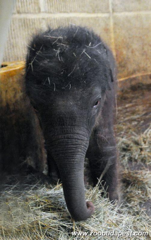 elefantbebi