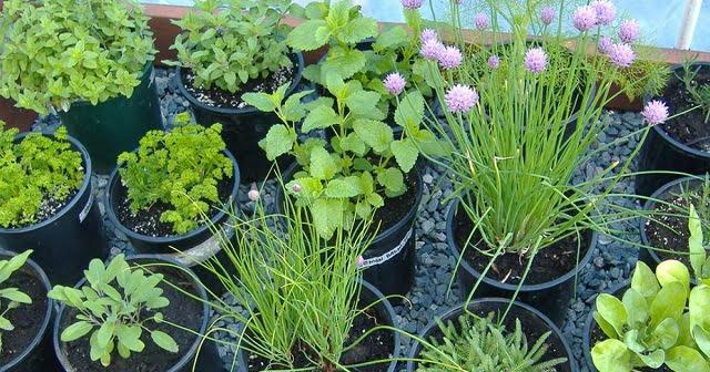 Ezeket a gyógynövényeket évszaktól függetlenül akár a lakásban is termeszthetjük!