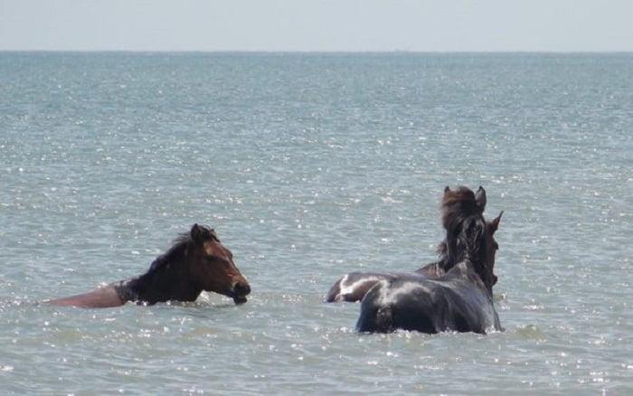 Egyedi felvételek: nézd, ahogy vadlovak mártóznak meg a Fekete-tenger habjaiban!