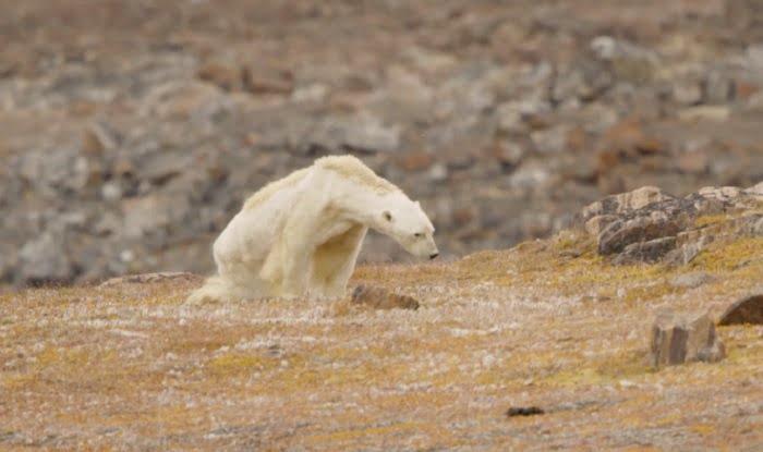 Szívbemarkoló videó, pusztulnak a jegesmedvék a globális felmelegedés miatt!