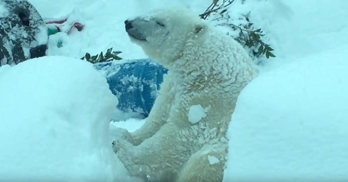Amikor a hó napokig zárva tartotta az oregoni állatkertet, a kamerák imádnivaló anyagot rögzítettek!
