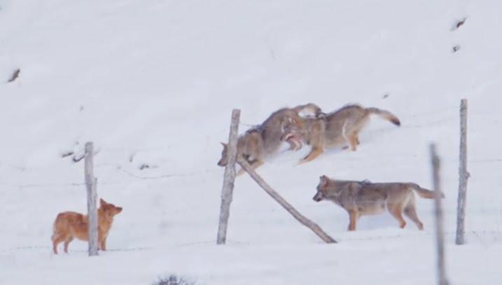 3 farkas támadt egy kutyára, aki szenzációs mozdulattal szabadul meg tőlük