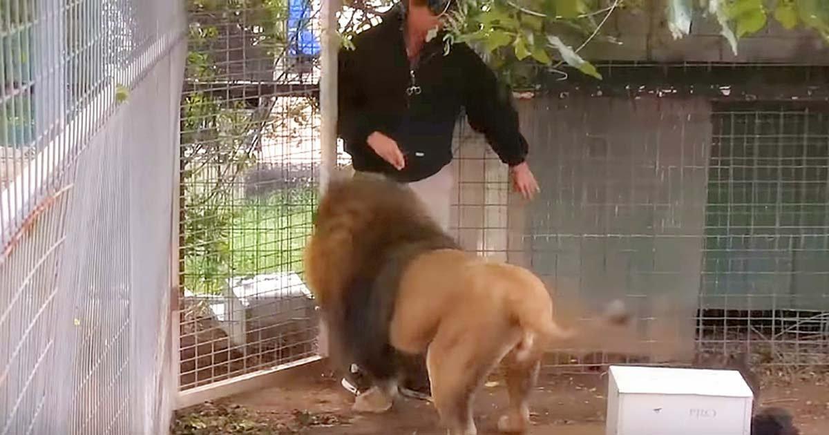 Ez a mozgássérült férfi besétál az oroszlán ketrecébe. Az állat reakciója mindenkit meglepett!