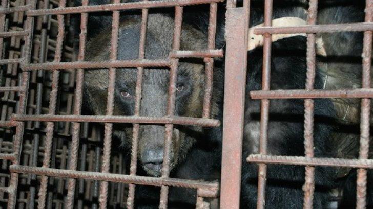 9 évig tartották ketrecbe zárva ezt a medvét. Amikor kiszabadult, sokkot kapott