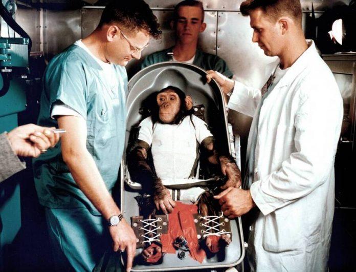 Ham, a NASA első űrhajós csimpánza: hírességként tért vissza a Földre